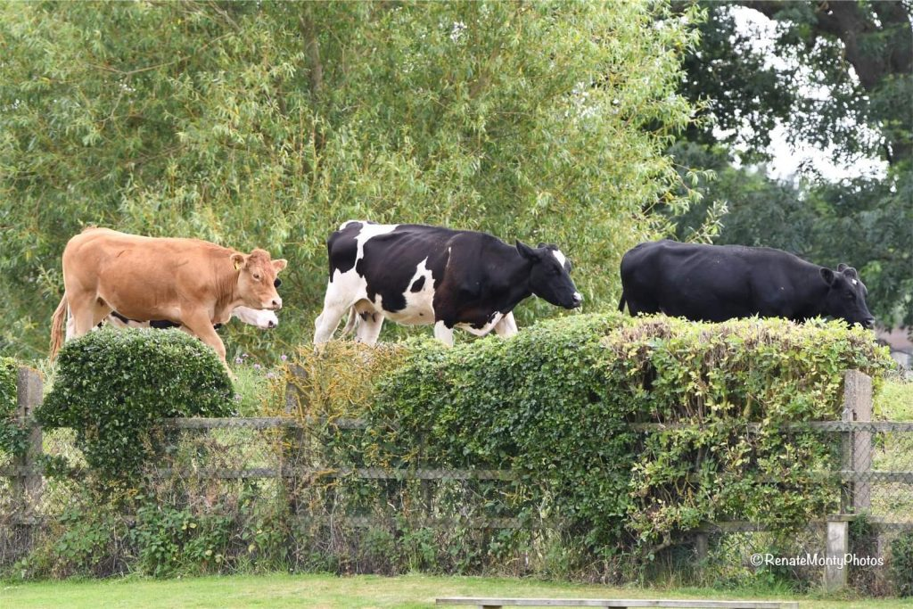 Cow Corner at Clifton Alliance CC
